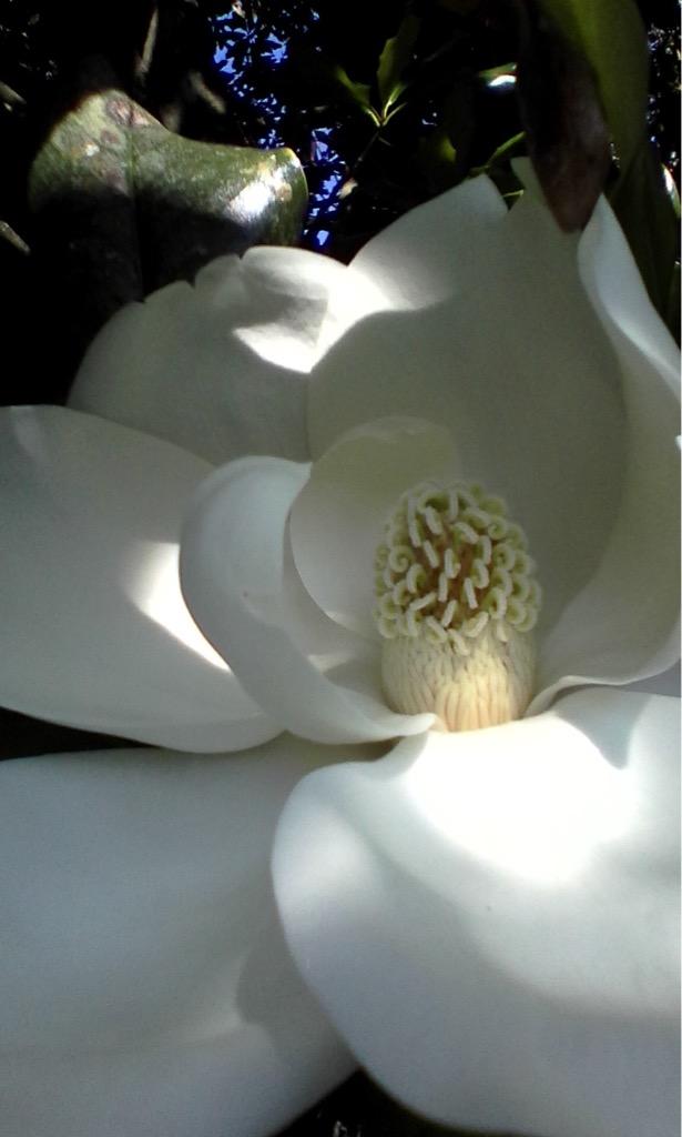 Hidden Magnolia